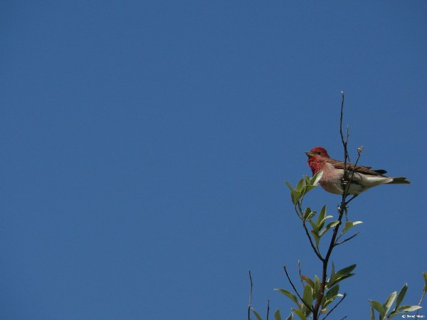 Karmingimpel hoch oben / a male Scarlet Rosefinch overlooking the field from the top of a tree