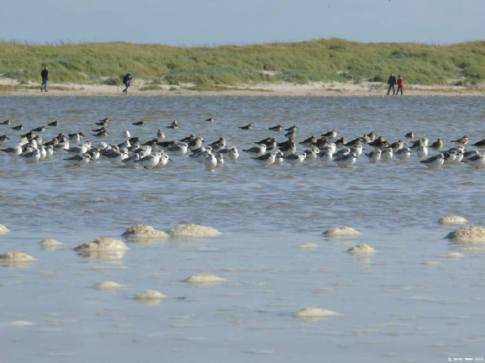 Seevögel am Strand / a flock of sea birds sitting close to the beach