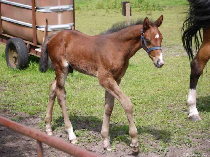 Junges Fohlen / a foal / just a few days old